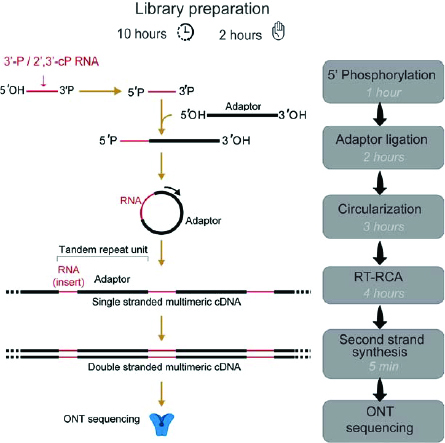 Fig 1. Workflow for circAid-p-seq library preparation